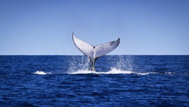 Humpback Whale Tourism WA