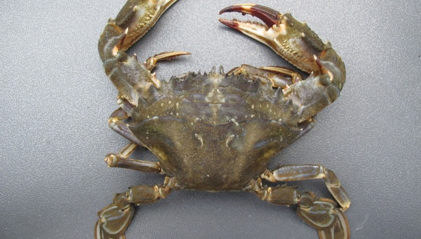 Asian Paddle Crab